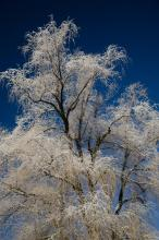 The willow against a deep blue wintry sky.